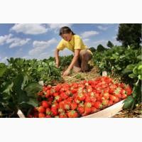 Сезонная работа в Польше. Сбор овощей, фруктов, ягод