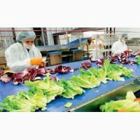 Работа в Англии на салатной фабрике