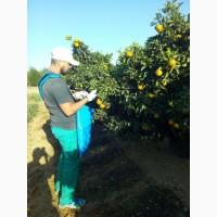 Сбор апельсин (цитрусовых) в Испании