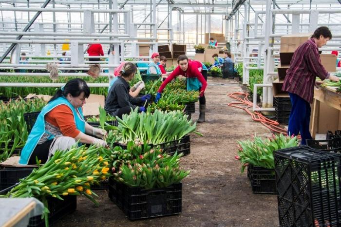Фото 6. Работа и вакансии на сельскохозяйственных работах в Голландии